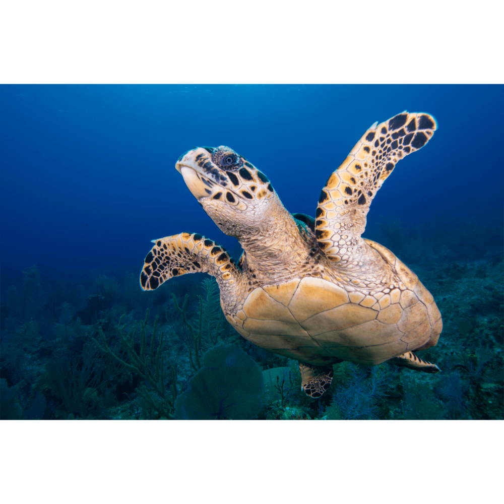 Hawksbill Turtle Flight 3 Canvas Print