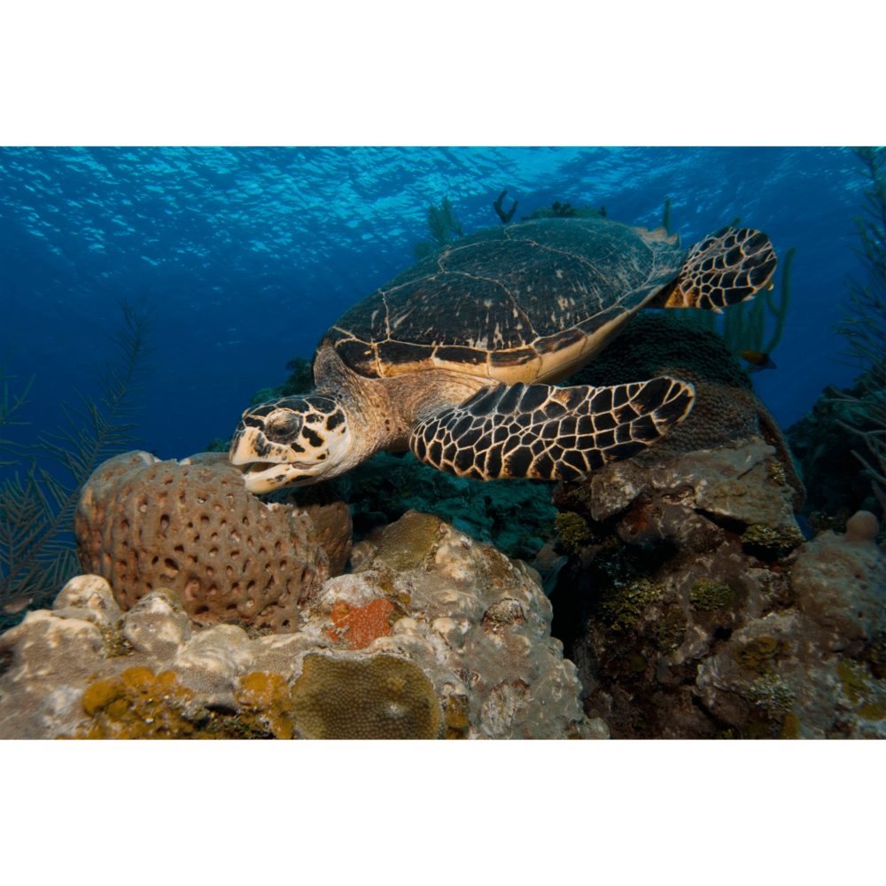 Hawksbill Turtle Eating Sponge Canvas Print