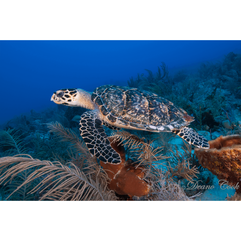 Hawksbill Turtle in Coral 2 Canvas Print