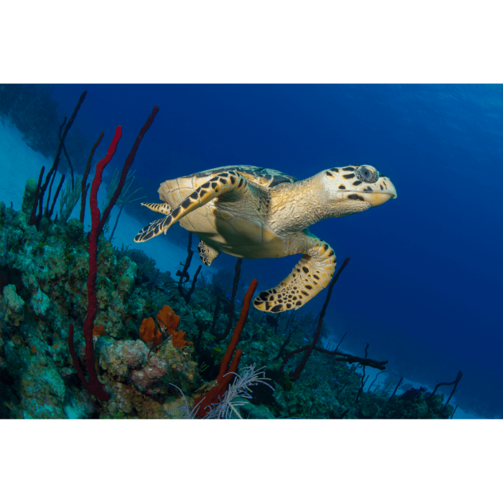 Hawksbill Turtle in Coral Canvas Print