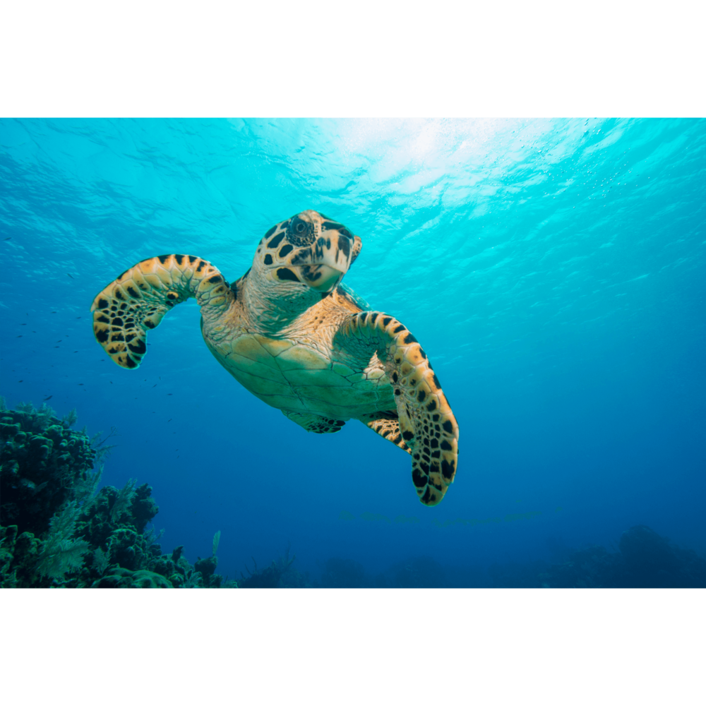 Hawksbill Turtle Flight Canvas Print