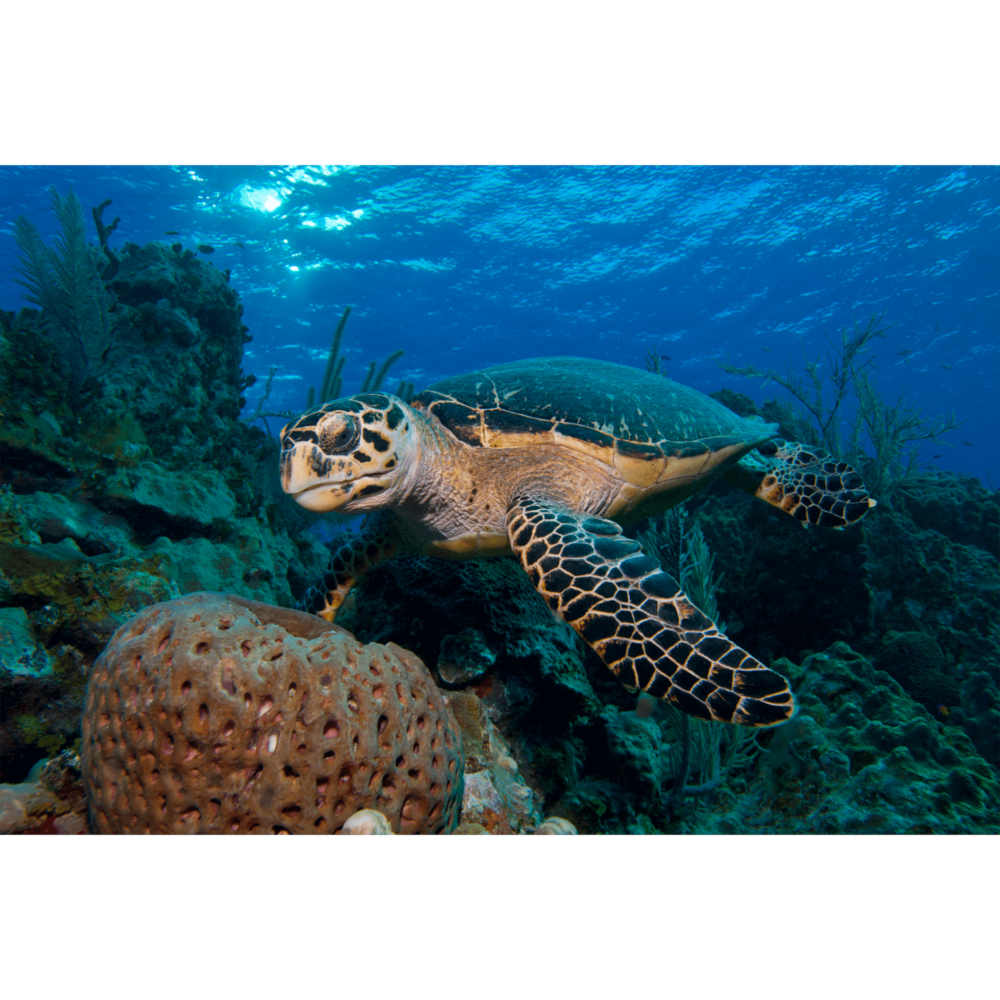 Hawksbill Turtle With Sponge 1 Canvas Print