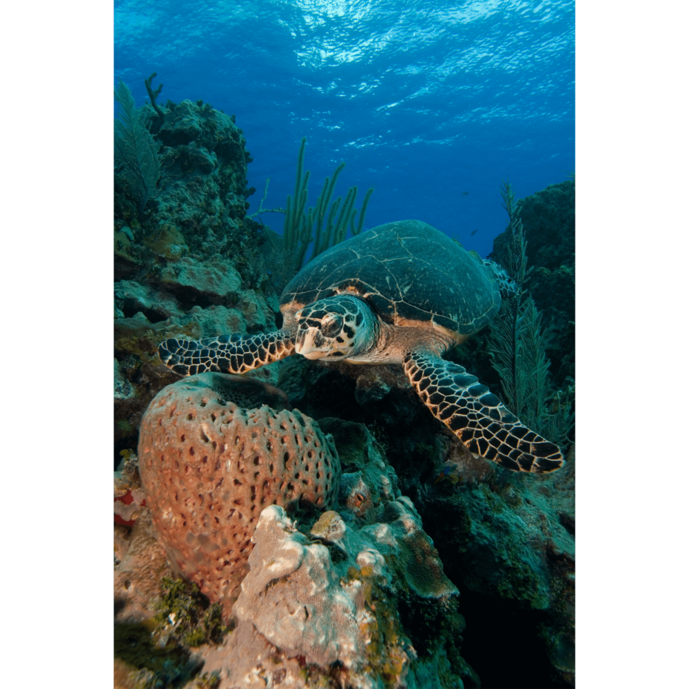 Hawksbill Turtle With Sponge 3 Canvas Print
