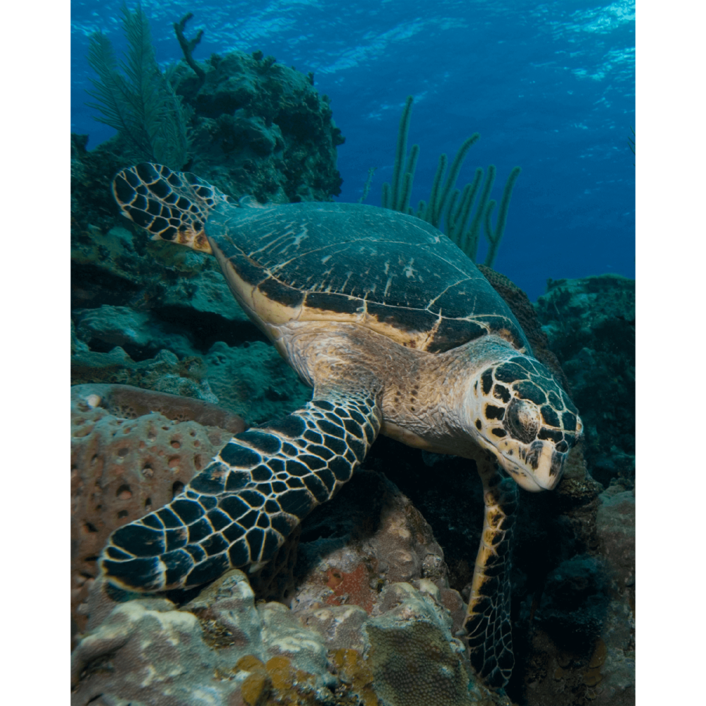 Hawksbill Turtle with Sponge Canvas Print