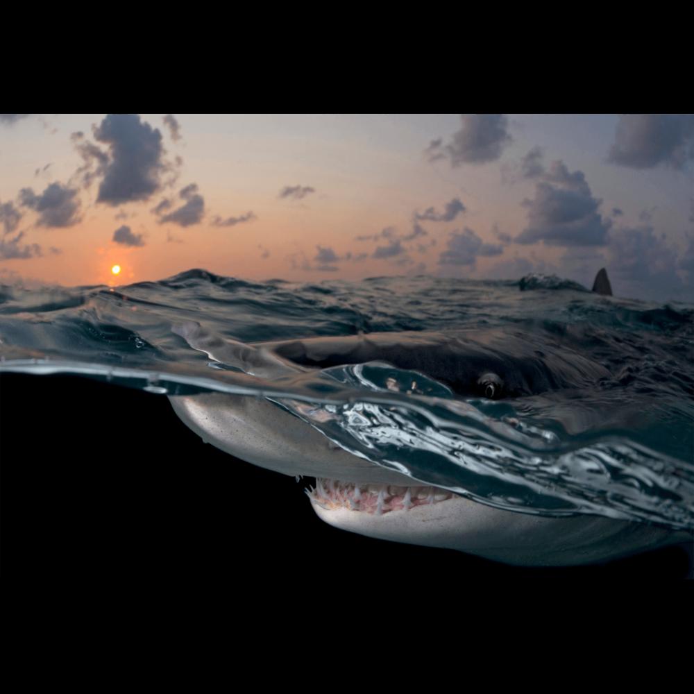 Lemon Shark Sunset Canvas Print