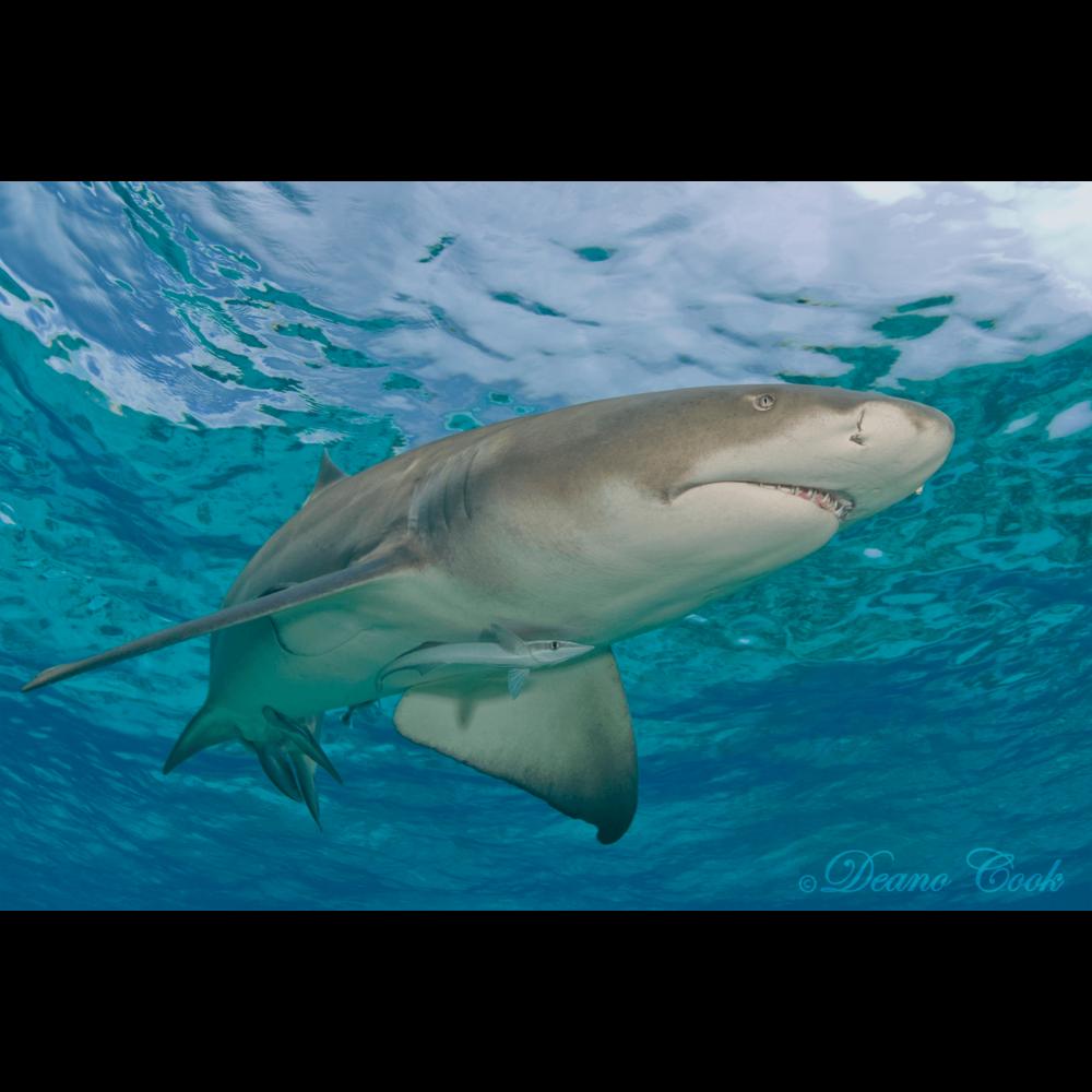 Lemon Shark Chrome Surface Canvas Print