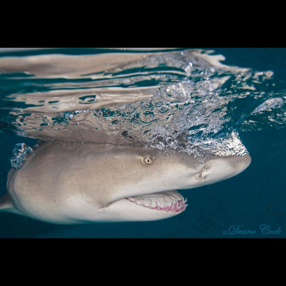 Lemon Shark Quicksilver Canvas Print