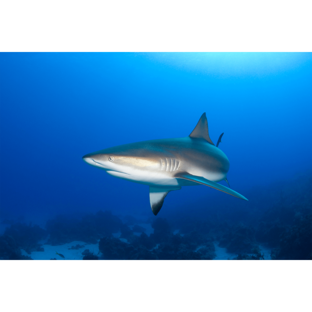Reef Shark 90 Degrees Canvas Print