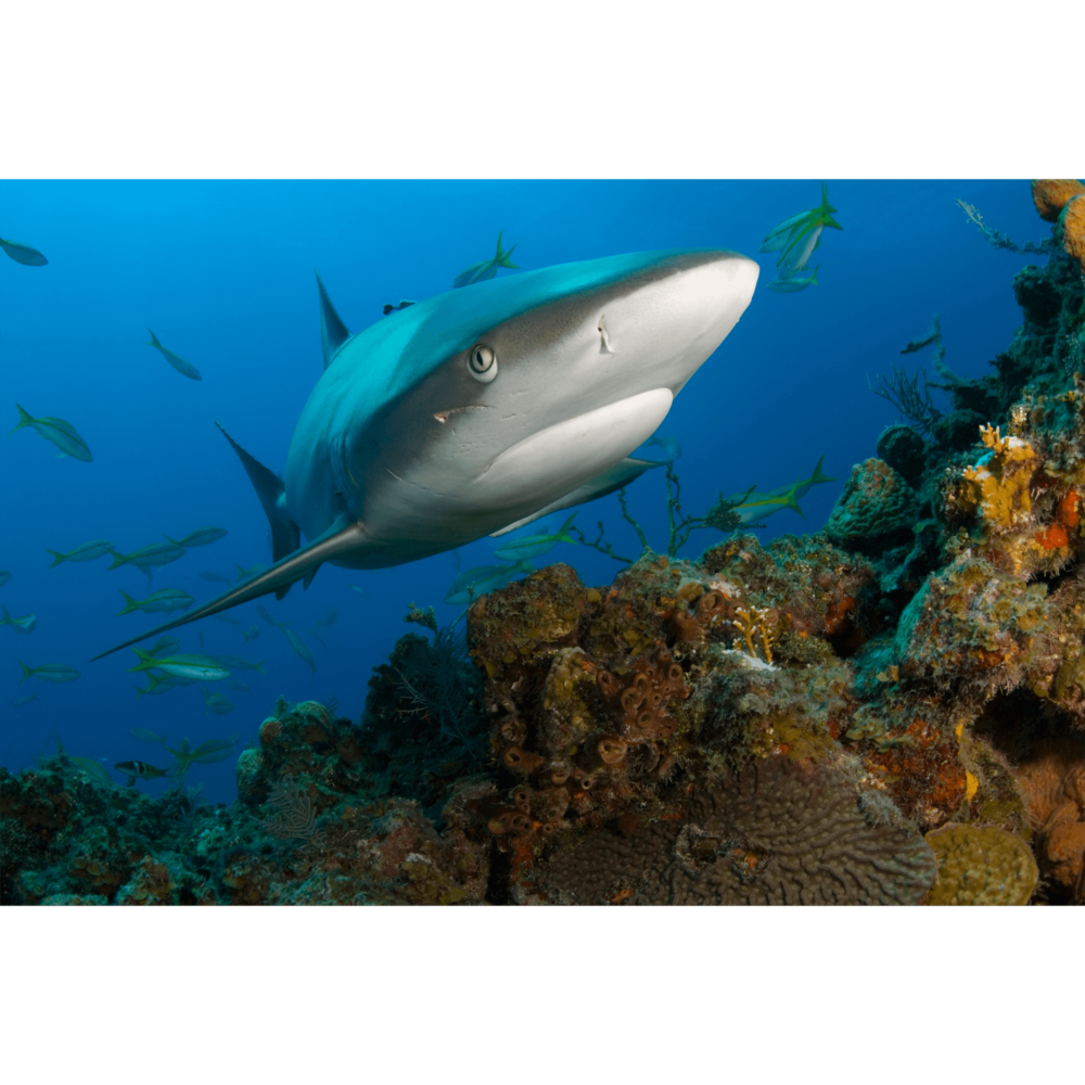 Reef Shark Scar Canvas Print