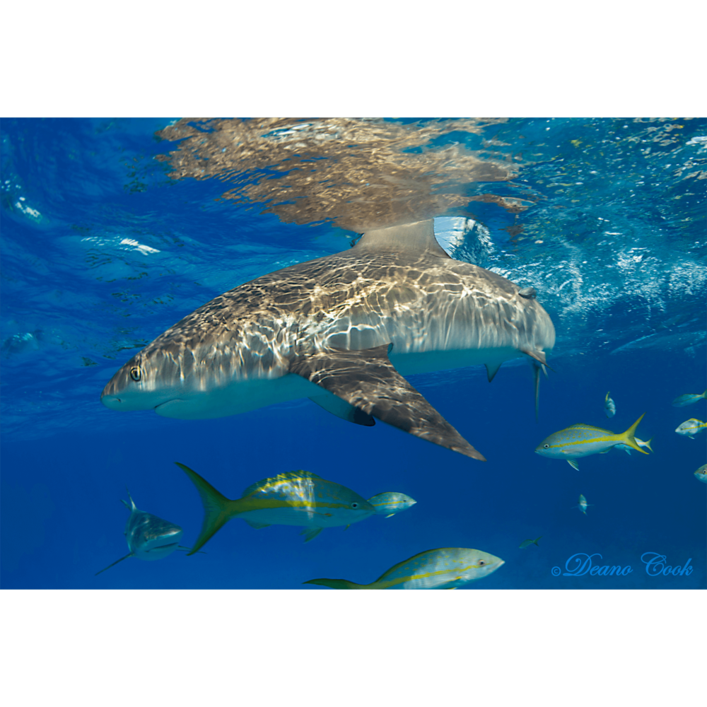 Reef Shark Surface Cut Canvas Print