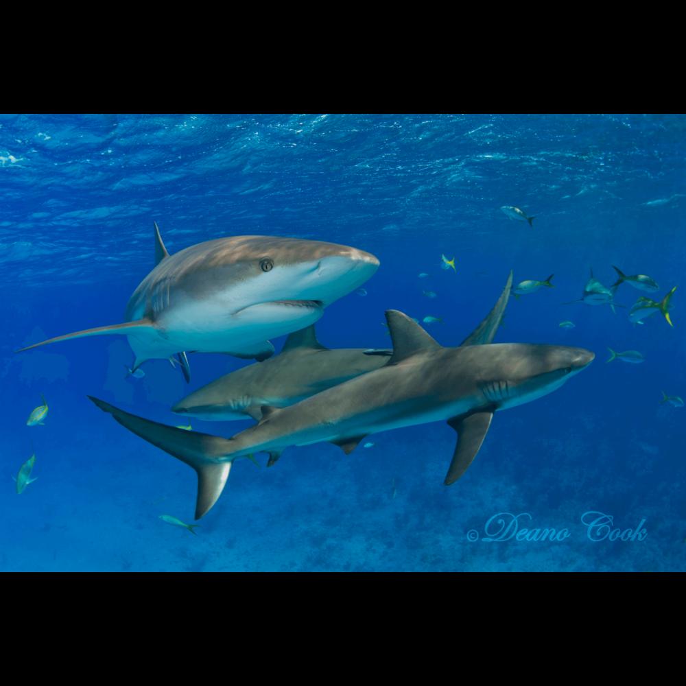Reef Shark Trio Cove Canvas Print
