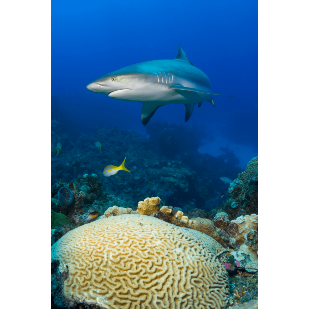 Reef Shark and Brain Coral Canvas Print