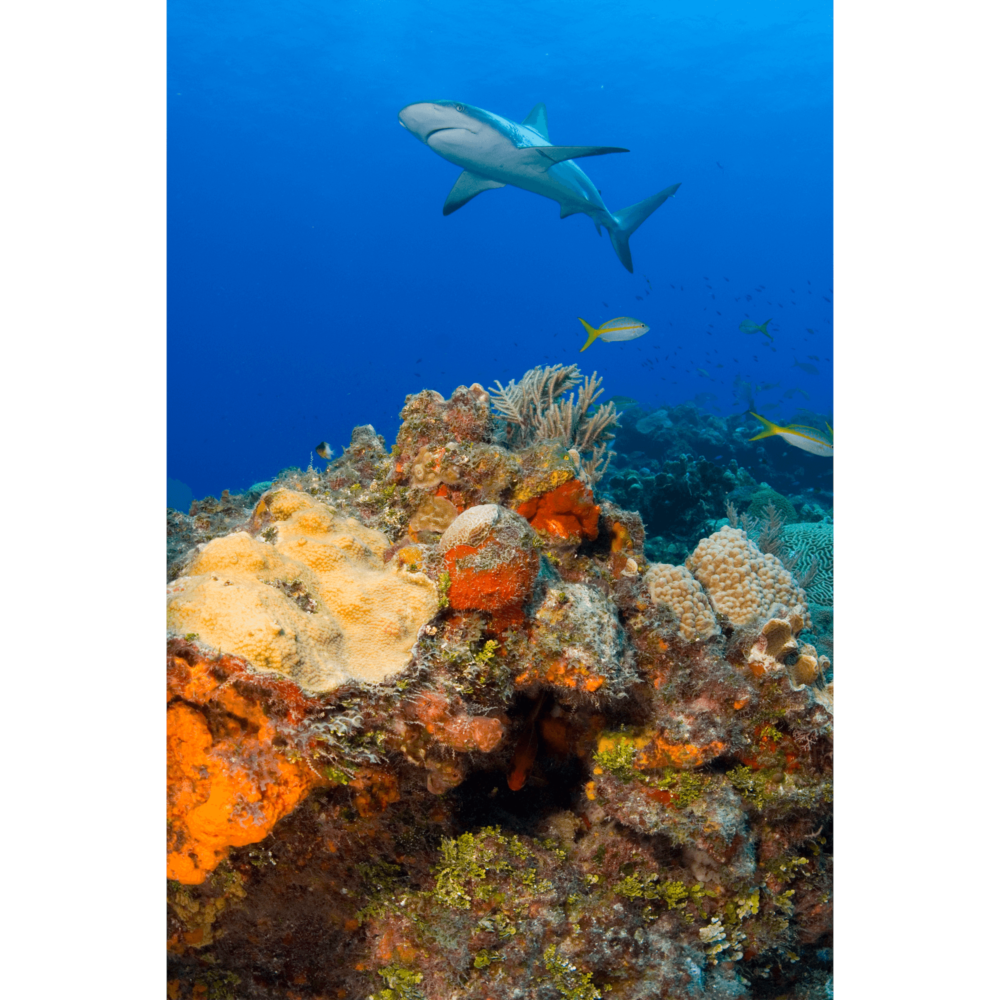 Reef Shark Over Reef Canvas Print