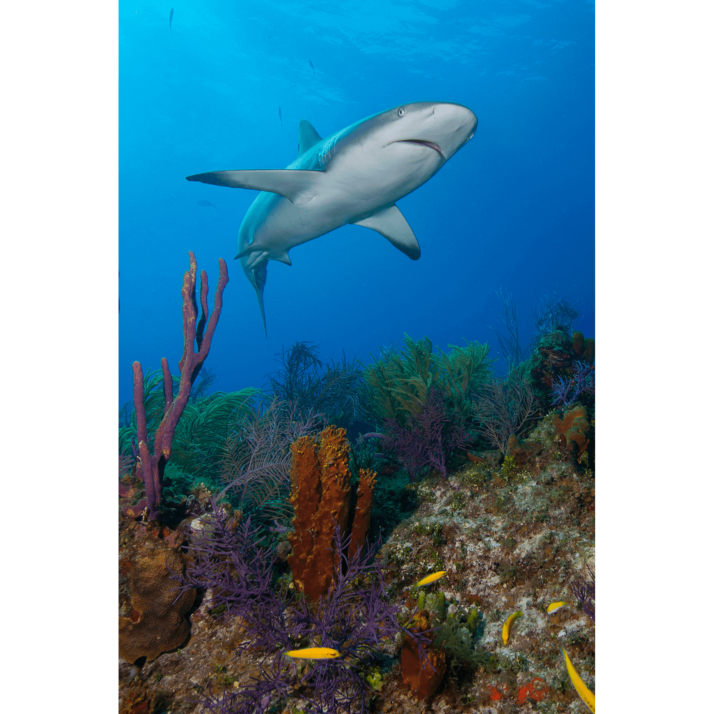 Reef Shark Over Reefs Canvas Print