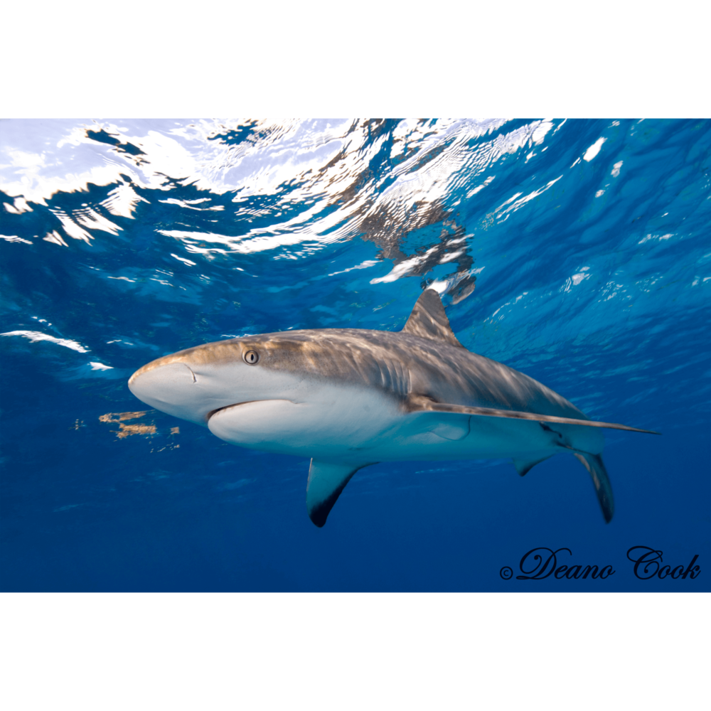Reflecting Reef Shark Canvas Print