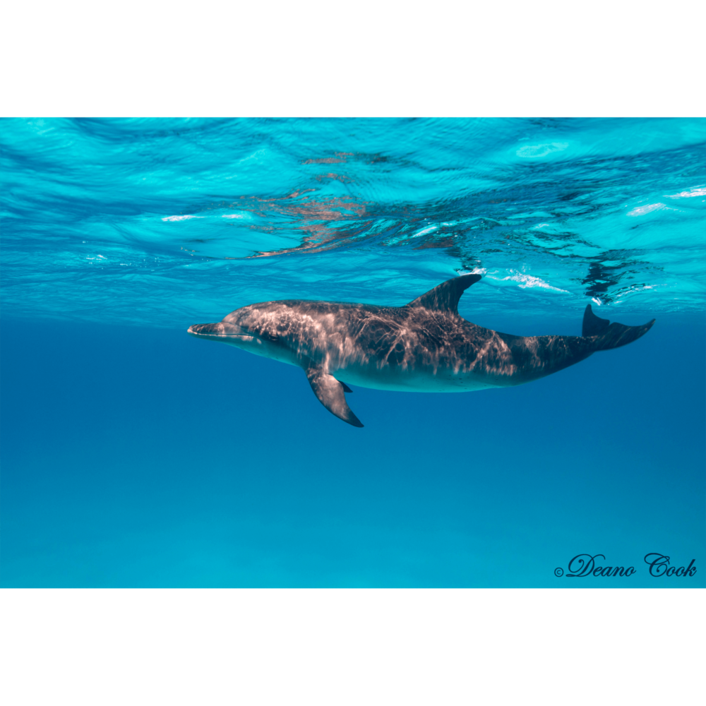 Spotted Bottlenose Dolphin Canvas Print