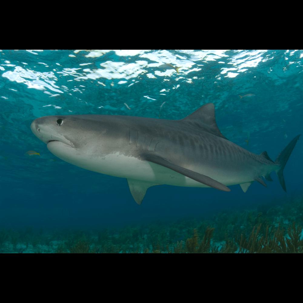 Tiger Shark 1 Canvas Print