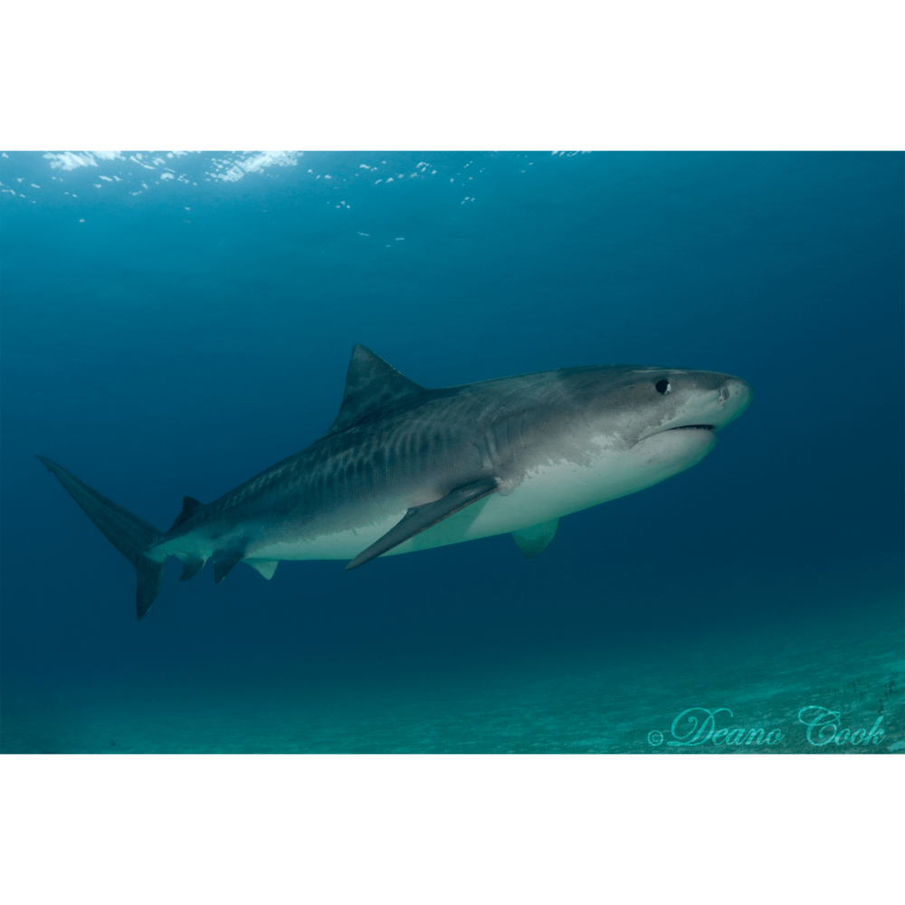 Tiger Shark 5 Canvas Print