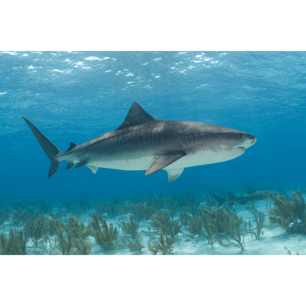 Tiger Shark Beach Canvas Print
