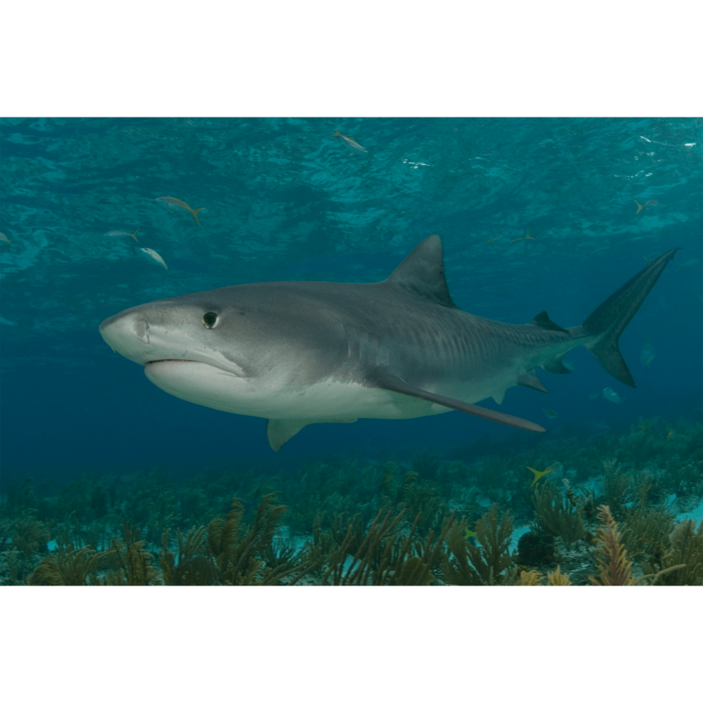 Tiger Shark Lurking Canvas Print
