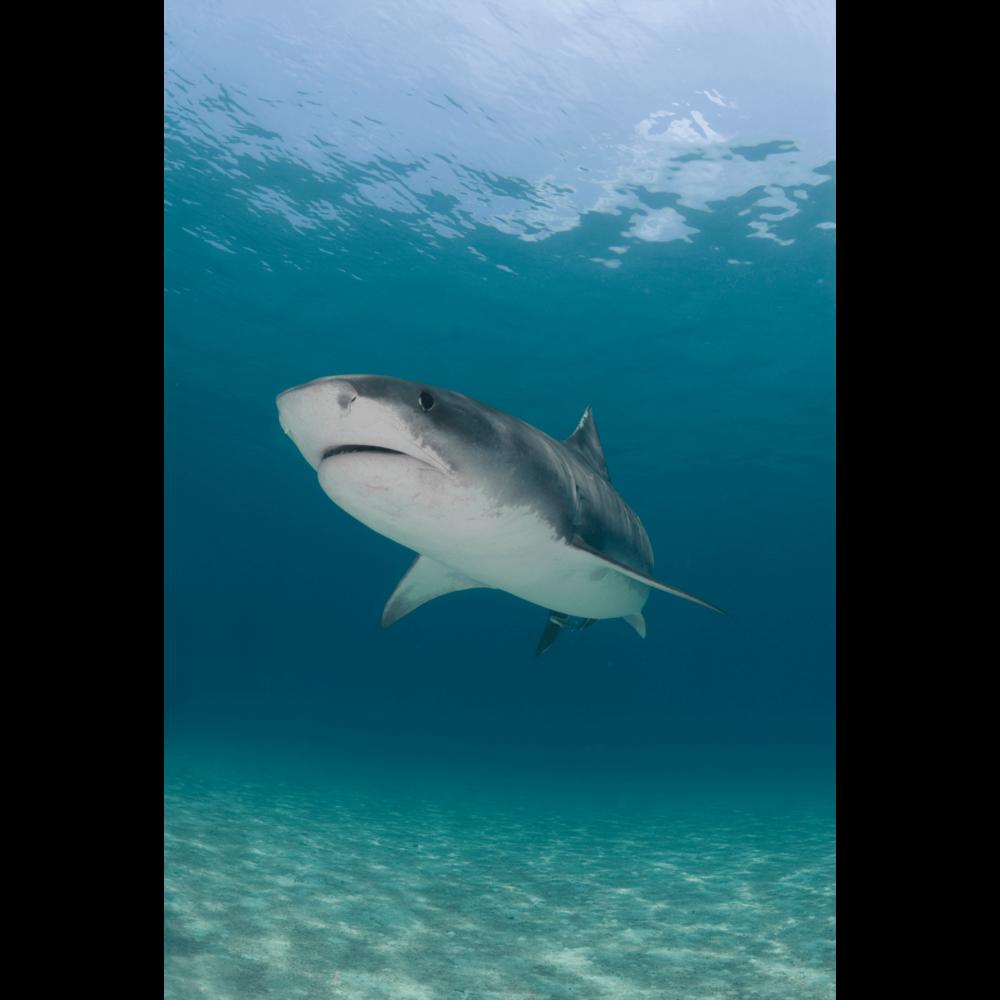 Tiger Shark Serenity Canvas Print