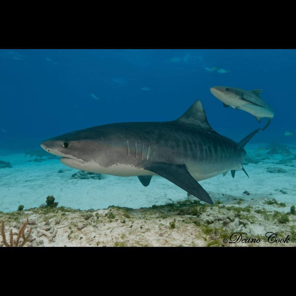 Tiger Shark and Cobia Canvas Print