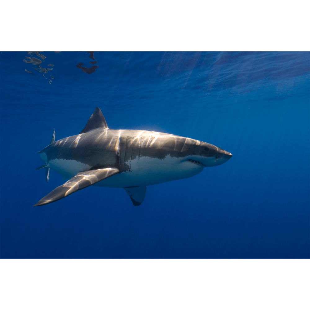 White Shark Guadalupe 1 Canvas Print