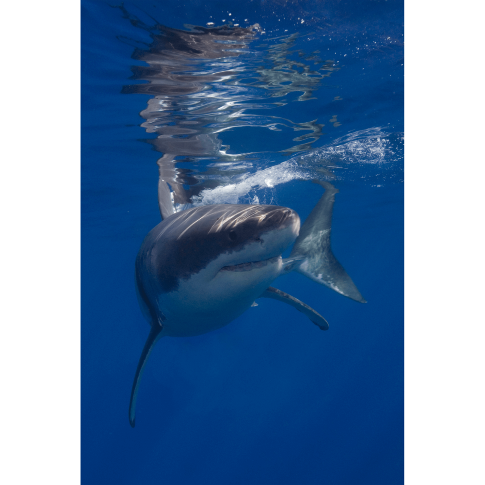 White Shark Guadalupe 2 Canvas Print