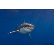 White Shark Guadalupe 3 Canvas Print